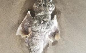Quái vật biển với 'đôi cánh thiên thần' dạt vào bờ khiến dân tình choáng váng