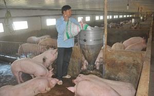 Giá thức ăn chăn nuôi tăng 7 đợt, Trung Quốc giảm ngô, mua cả triệu tấn nông sản này của Việt Nam trộn cho rẻ