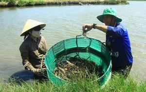 Trà Vinh: Vùng đất lạ, nuôi tôm càng xanh con to đùng, cua biển không bị ốp, cá ngát nhà nghèo lên ngôi đặc sản