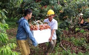 Bắc Giang: Doanh nghiệp lo thiếu lao động thu hoạch vải thiều do dịch Covid-19
