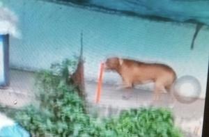 Chó Pitbull cắn chết người ở Long An: Thông tin mới bất ngờ
