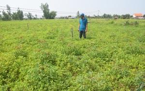 """Bình Định: Trồng xen cây ra """"quả biến thành củ"""" với cây ra """"rễ biến thành củ"""", nông dân thu nhập tăng gấp 3"""