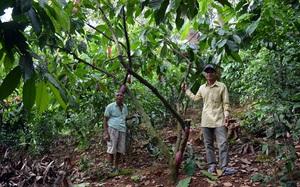 """Bình Phước: Trồng rau rừng đặc sản trong vườn """"trồng lung tung"""", ông nông dân mua được ô tô"""