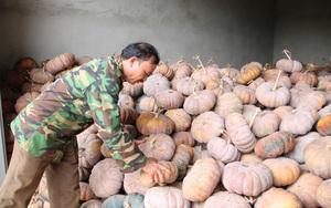 Đắk Lắk: Đáng buồn, trồng bí đỏ bạt ngàn, bao la, hái trái chất đầy nhà, lăn lóc ngoài đồng mà không ai mua cho