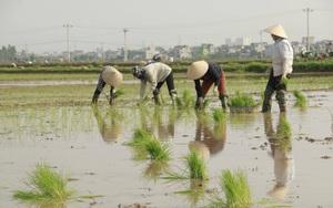 Nghệ  An: Nông dân Diễn Châu nhanh chóng xuống đồng cấy lúa hè thu tránh thiên tai