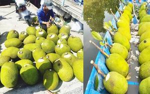 Giá mít Thái hôm nay 24/5: Hết thời cứ trồng mít Thái là có lãi? Mít Thái Tiền Giang tăng thêm mấy giá?