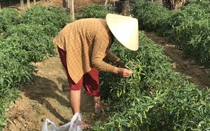 Đà Nẵng: Đến khổ, ớt xanh, bí đao rớt giá thảm hại vì dịch Covid-19, nông dân khốn đốn