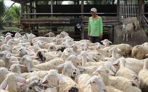 Ninh Thuận: Giá dê hơi, giá cừu hơi tăng cao nhất từ đầu năm đến nay, thương lái tiết lộ điều gì?