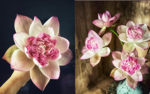 Loài hoa sen lạ đếm mỏi mồm mới hết cánh, chị em thi nhau ra sức đập đập vỗ vỗ cho hoa nở