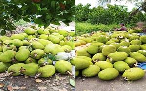 """Giá mít Thái hôm nay 26/5: Giao mùa ít trái, đã thế cắt 10 trái thì 8-9 trái bị """"đạp"""" xuống mít Kem, mít chợ"""