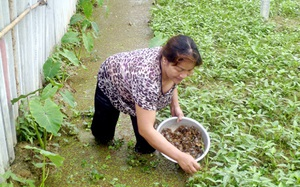 Quảng Ninh: Nuôi cua đồng trong ruộng rau muống, bắt lên bao nhiêu bán hết bấy nhiêu