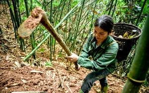 """Tuyên Quang: Mưa xuống, thứ rau đặc sản này """"xuyên đất chui lên"""" dân cuốc 1 nhát lên toàn củ nạc thịt"""