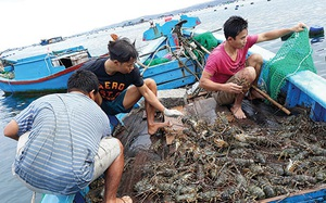 Cả nước có bao nhiêu tỉnh nằm trong đề án nuôi tôm hùm xuất khẩu đến năm 2025?