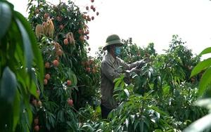Vải sớm Bắc Giang thất thu, nông dân lao đao vì dịch Covid-19