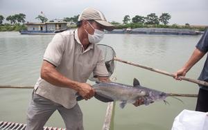 Hải Dương: Giá cá giảm mạnh do dịch Covid-19, nhiều hộ nuôi cá lồng đứng trước nguy cơ phá sản