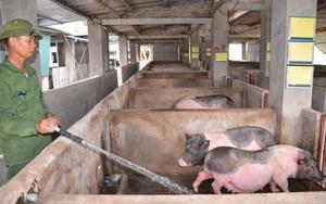Quảng Ninh: Vì sao dịch tả lợn châu Phi vẫn bùng phát ở nhiều xã, 550 con lợn phải tiêu huỷ?