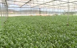 Lâm Đồng: Ông nông dân thử nghiệm mô hình trồng rau bó xôi theo hướng hữu cơ cho thu nhập ổn định