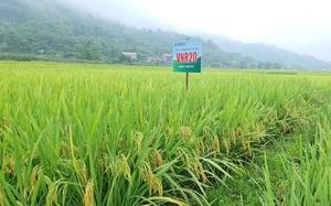 Hòa Bình: Cấy lúa VNR 20, nông dân phấn khởi nhìn ruộng đẹp như tranh, năng suất cao hơn 15%