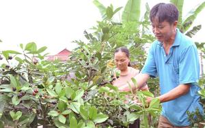 Trồng loại quả lạ màu đen sì, thơm, ngọt lạ, một ông nông dân Bắc Giang tiền túi lúc nào cũng rủng rỉnh