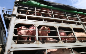 Tạm ngừng nhập khẩu lợn sống Thái Lan vào Việt Nam