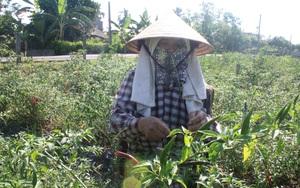 """Thạch Hà (Hà Tĩnh): Ớt sụt giá 5 lần, nông dân không """"buồn"""" thu hoạch, bỏ chín đỏ ngoài đồng"""