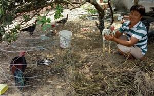"""Bình Định: Nuôi thứ gà nòi trên đất võ Tây Sơn, nông dân cho gà ăn """"sang chảnh"""" nhưng bán kiểu gì cũng đắt tiền"""
