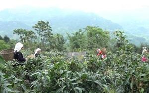 Tuyên Quang: Người dân Hồng Thái đổi đời từ trồng chè Shan tuyết theo hướng hữu cơ