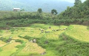 Điện Biên: Tổ xung kích giúp người dân cách ly gặt lúa giữa mùa Covid-19
