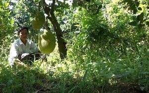 Tiền Giang: Chuyển đổi trồng mít siêu sớm trên đất lúa cho thu nhập ổn định