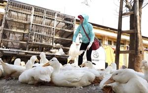 Giá gia cầm hôm nay 29/5: Giá vịt thịt miền Bắc biến động, gà công nghiệp cao hơn miền Nam 3.000 đồng/kg