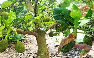 Giá mít Thái hôm nay 29/5: Vì sao giá mít Thái đang rẻ mạt mà nhiều nông dân lại đổ xô đi làm bông mít?