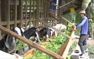 Đồng Tháp: Anh nông dân tự sáng tạo mô hình nuôi dê mới lạ, mang lại hiệu quả kinh tế cao