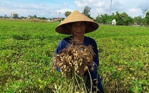 Hà Tĩnh: Nông dân phấn khởi vì lạc Xuân được mùa
