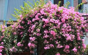 Ngắm hoa giấy mong manh, thổn thức giữa nắng hè chói chang