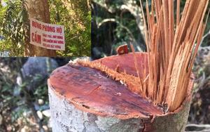 Quảng Ngãi: Dự án thủy điện làm đường công vụ, rừng phòng hộ bị chặt phá trái phép?