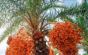 Đồng Tháp: Trồng thứ cây lạ trông như cây cọ, ra hàng ngàn trái đếm không xuể, nhiều người kéo đến xem
