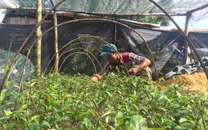 Quảng Nam: Ba kích tím là cây gì mà trồng trên đồi, nhổ một nhát lên toàn củ xoắn dây thừng, trai U30 đổi đời?