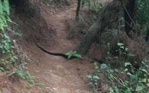Sơn La: Xôn xao hình ảnh con rắn hổ mang chúa khủng xuất hiện tại đồi thông ở Phù Yên, ngành chức năng nói gì?