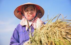Người dân ngoại thành Hà Nội tất bật gặt lúa dưới thời tiết nắng nóng 40 độ C
