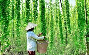 An Giang: Lạ, trồng thứ cây cho leo cao, vườn đẹp như phim, càng nắng nóng hái lá bán càng đắt hàng