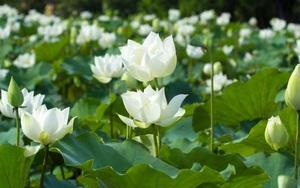 Chuyển đổi đất trồng lúa kém hiệu quả sang trồng sen trắng, nông dân Thanh Oai thu tiền triệu mỗi ngày