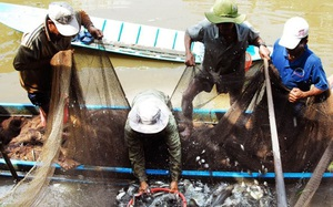 Cà Mau: Vùng đất nông dân nuôi cá đồng, kéo mẻ lưới lên cá lóc, cá trê, cá rô đồng dồn một đống