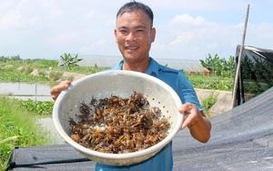 Nghệ An: Nắng nóng chang chang chàng nông dân nuôi cua đồng ngoài ruộng lúa, bắt một lúc được cả chậu to
