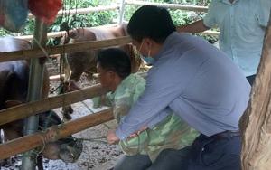 Sơn La: Ngăn chặn dịch bệnh viêm da nổi cục trên trâu, bò
