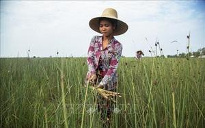 Kiên Giang: Thứ cỏ dại mọc hoang đầy đồng làm nên một sản phẩm OCOP 4 sao là loài cỏ gì?
