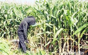 Đồng Nai: Trồng bắp bán cả thân cây, ấy thế mà nông dân lại lãi to chẳng hề lo ế