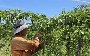 Quảng Trị: Vùng đất nóng trồng chanh leo để làm gì mà bán loại nhất giá 35.000-38.000 đồng/kg?