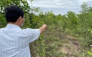 Quảng Ngãi: Mô hình trồng nghệ dưới tán rừng keo gần 4 tỷ mới nửa chừng đã phá sản