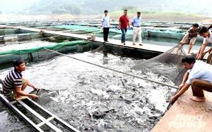 Tuyên Quang: Đặc sản cá bỗng nuôi ở hồ sinh thái Na Hang, kéo mẻ lưới lên ai cũng trầm trồ