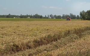 Nông dân Bạc Liêu phấn khởi trúng mùa, được giá vụ lúa Đông Xuân